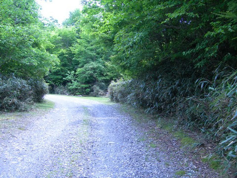 Photo 5. 静岡県本川根町山犬段(蕎麦粒山付近) 右のササからはアシマダラクモヒメバチが多く得られた