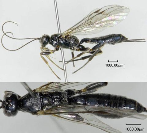 サッポロマルズヒメバチ Ischnoceros sapporensis Uchida, 1928