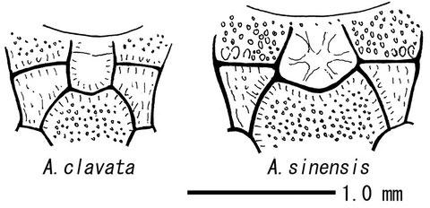 図.Acerataspis属各種の前伸腹節の隆起線