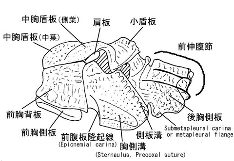 中体節(側面) ニッポンツノコマユバチ Helconidea nipponica (Watanabe,1972)