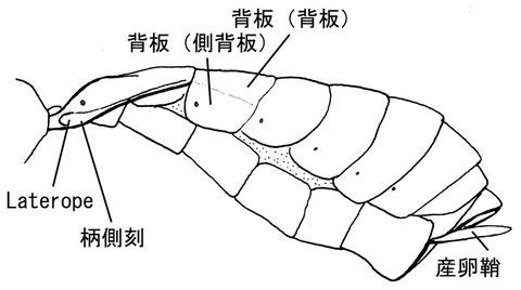 後体節(側面) ニセアメイロコンボウコマユバチ Homolobus (Chartolobus) infumator (Lyle, 1914) (コンボウコマユバチ亜科)