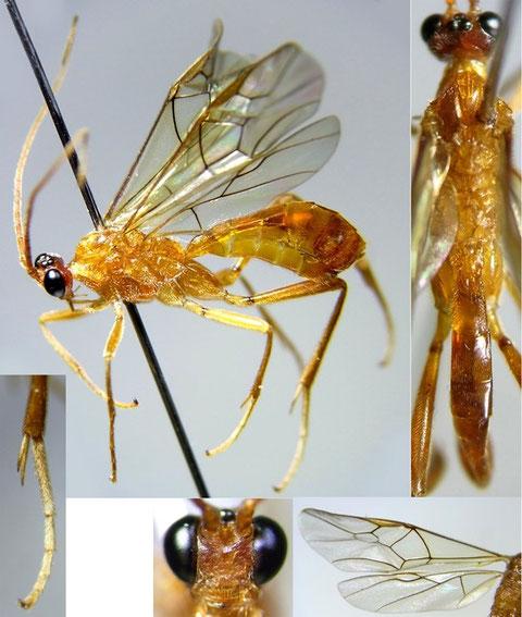 ニセアメイロコンボウコマユバチ Homolobus (Chartolobus) infumator (Lyle, 1914)
