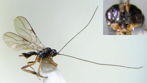 Phaenocarpa sp.