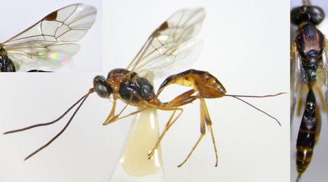 Pristomerus punctatus Uchida, 1932 (近似種が多いため絵合わせ同定厳禁)