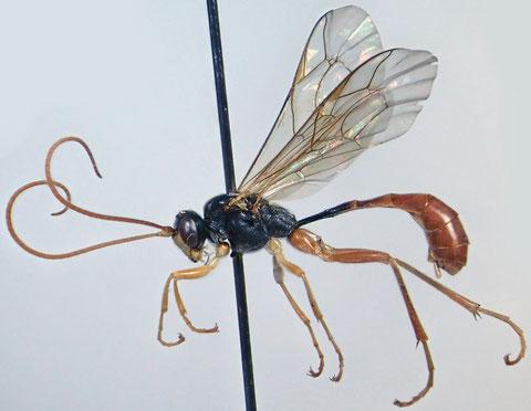トウヨウマルヒメバチ Hadrodactylus orientalis Uchida, 1930