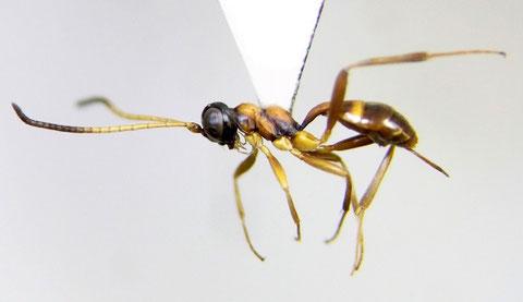 ハネナシヒメバチの一種 Gelis sp.