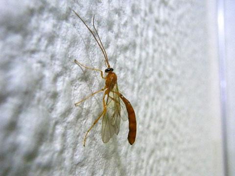 サキボソアメバチ Ophion fuscomaculatus Cameron, 1899