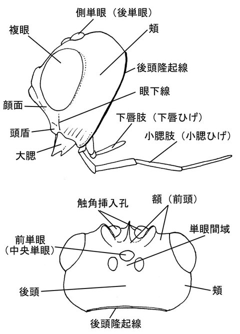 頭部(前面、側面、背面) ニッポンツノコマユバチ Helconidea nipponica (Watanabe,1972) (フチガシラコマユバチ亜科)