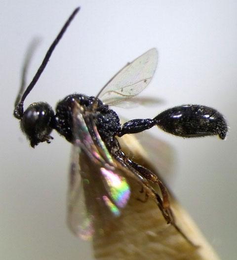 Helorus yezoensis Kusigemati, 1987 (Holotype: 鹿児島大学農学部収蔵)