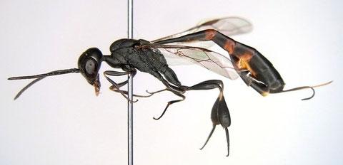 ヒメコンボウヤセバチ Gasteruption assectator (Linnaeus, 1758)