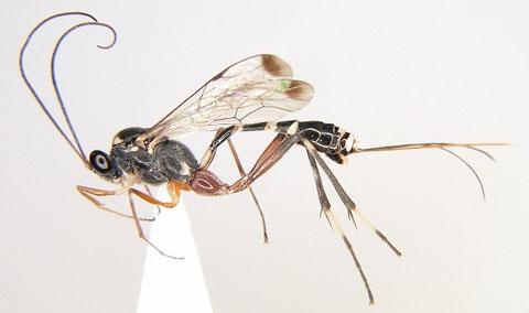 水稲害虫の天敵、トウヨウホソウスマルヒメバチ Leptobatopsis indica (Watanabe et al., 2010b より)