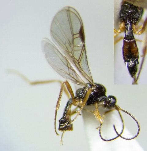Blacus (Ganychorus) sp.