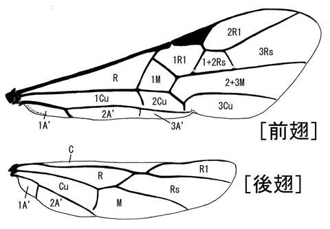 前翅翅室 (Sharkey, 1993:Hymenoptera of the World)ニッポンツノコマユバチ Helconidea nipponica (Watanabe,1972)