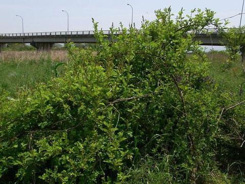 フトタマバチヤドリヒメバチが多数飛来した河川敷のノイバラ。♀は枝の隙間を縫うように忙しく飛ぶ。