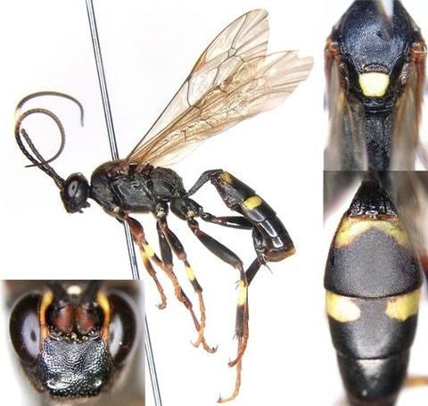 ニイクニヒメバチ Diphyus niikunii (Matsumura, 1912)