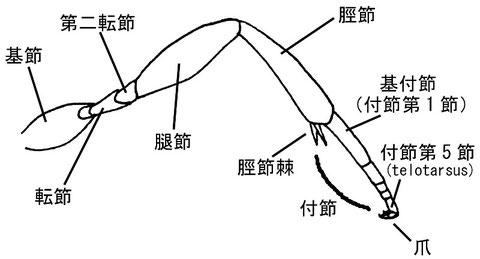 脚(側面) パーキンスコウラコマユバチ Ascogaster perkinsi Huddleston, 1984(コウラコマユバチ亜科)