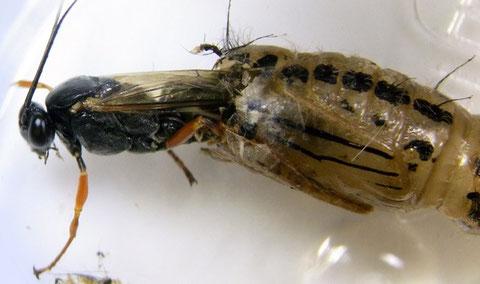 キアシドクガの蛹から羽化するヒメキアシヒラタヒメバチ