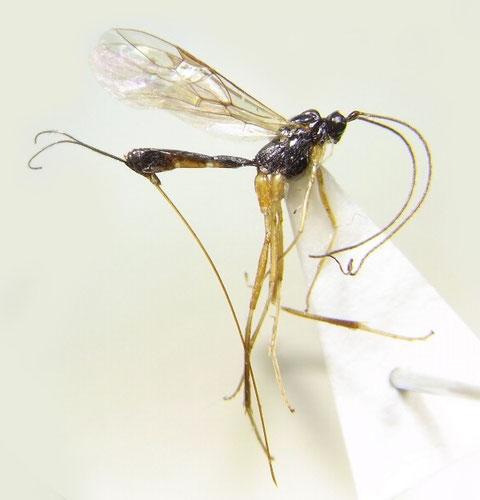Macrocentrus bicolor Curtis,1833