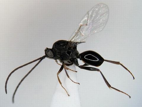 ヤドリタマバチ科の一種