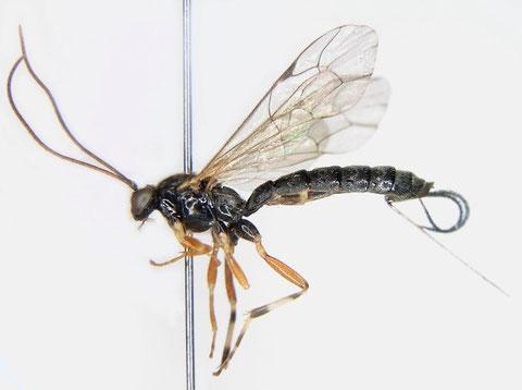 カレハヤドリフシヒメバチ Iseropus orientalis Uchida, 1928 ♀