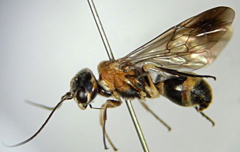 キスジセアカカギバラバチ Taeniogonalos fasciata (Strand 1913)