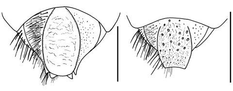ナガセツチスガリの後体節末端、♀(左)と♂(右):表面の彫刻がちがう (Watanabe et al., 2010c より)