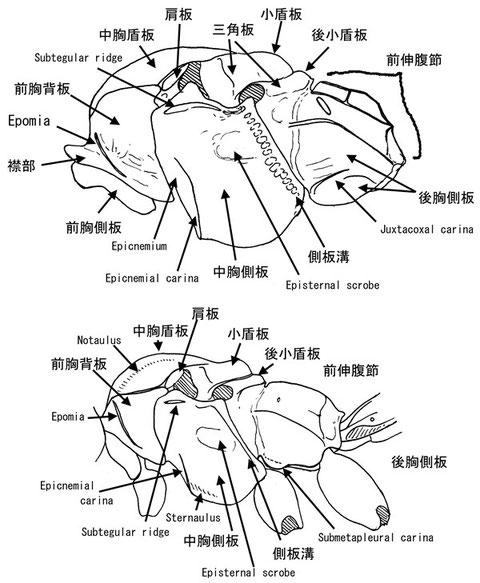 中体節の主要な形質(側方より):上,クロフシヒラタヒメバチ Pimpla pluto Ashmead (Pimplinae);下,ケンランナガハマキヤドリヒメバチ Teleutaea striata (Banchinae).