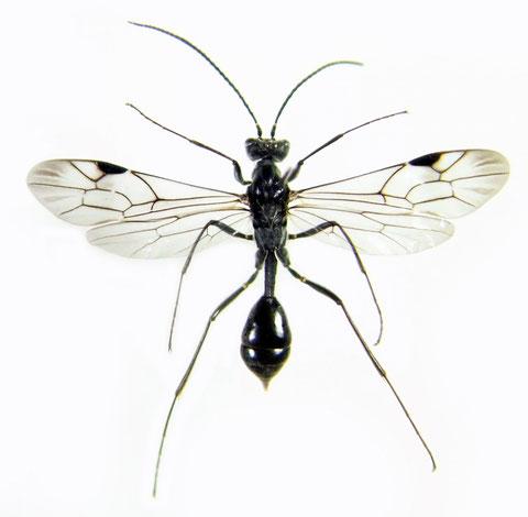 ミズバチ Agriotypus gracilis Waterston, 1930 (♂)