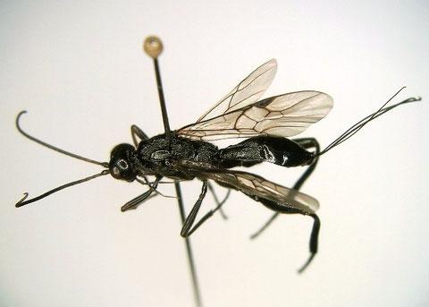 (2枚とも)ニッポンツノコマユバチ  Helconidea nipponica (Watanabe,1972)