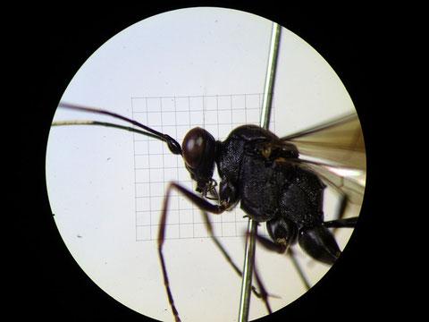 顕微鏡でスケッチする対象を見る(中央の方眼は方眼ミクロメーター)