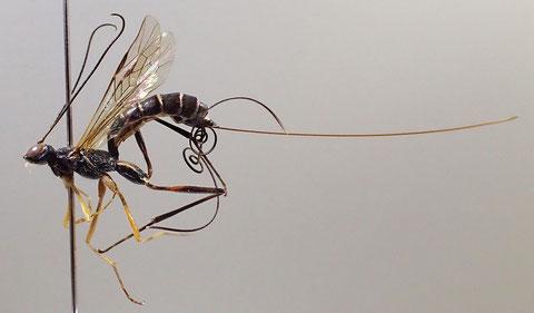 キスジクチキヒメバチ Cnastis vulgaris (Uchida, 1928)