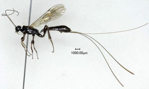 トゲマルズヒメバチ Odontocolon rufum (Uchida, 1928)
