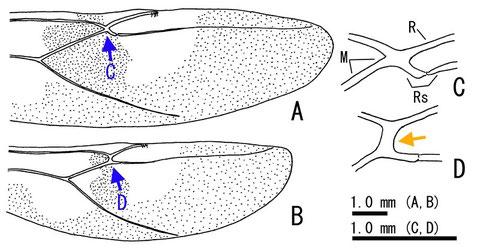 図.日本産Euurobracon属各種の後翅 - A.C.ウマノオバチ E. yokahamae, B.D.ヒメウマノオバチ E. breviterebrae.