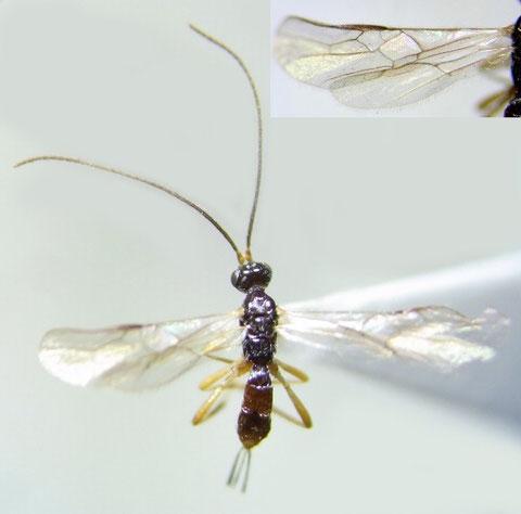 Rhysipolis sp.