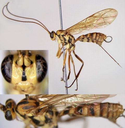 オナガアメバチモドキ Phytodietes (Neochorus) longicauda (Uchida, 1931)
