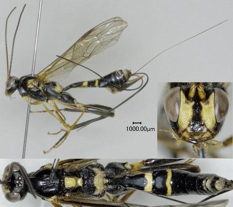 モイワケンヒメバチ Arotes moiwanus (Matsumura, 1912) ♀