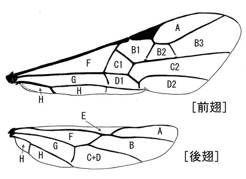 前翅翅室 (Achterberg, 1979, 1988:modified Comstock-Needham system)ニッポンツノコマユバチ Helconidea nipponica (Watanabe,1972)