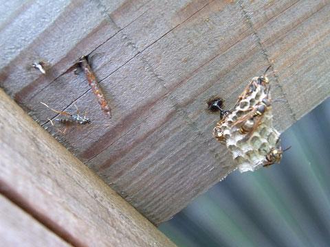コアシナガバチを狙うアシナガバチヤドリトガリヒメバチ。相手はあのアシナガバチ、どうやって寄生するのだろうか?