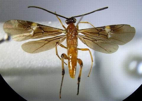 クロヒゲアカコマユバチ Cremnops desertor (Linnaeus,1758) ♂