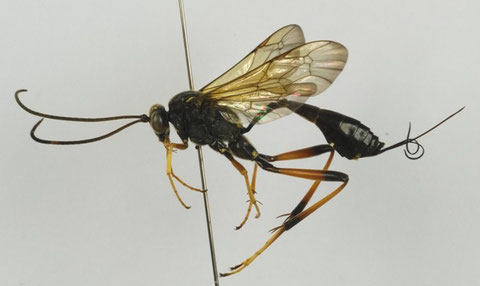キアシオナガトガリヒメバチ Acroricnus ambulator ambulator (Smith, 1874)
