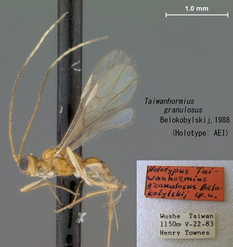 Taiwanhormius granulosus Belokobylskij, 1988 holotype (American Entomological Institute収蔵)