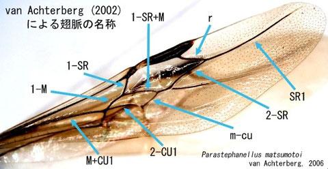 主な翅脈とその名称(ニッポンツノヤセバチ)
