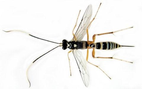 チャミノガヤドリトガリヒメバチ Ateleute minusculae (Uchida, 1955)