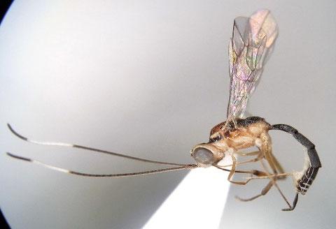 カバイロズジボソハバチヒメバチ Oedemopsis angustus (Momoi, 1970)
