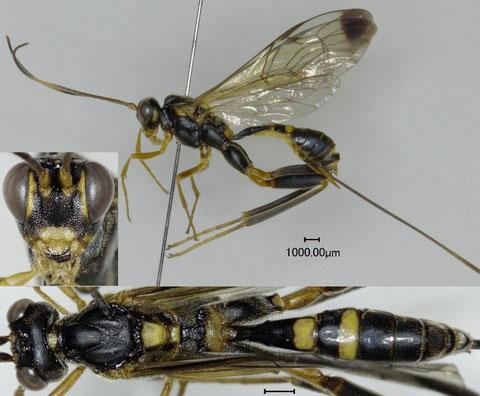 ツマグロケンヒメバチ Spilopteron apicale (Matsumura, 1912)  ♀