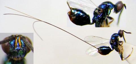 オナガコバチの1種