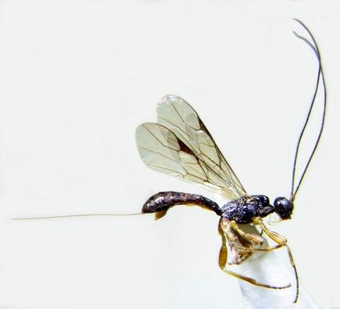 Hypodoryctes bilobus (Shestakov, 1940)