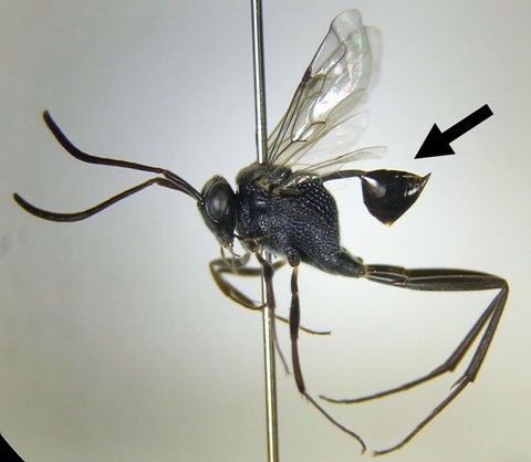 Evania sp. (琉球産)