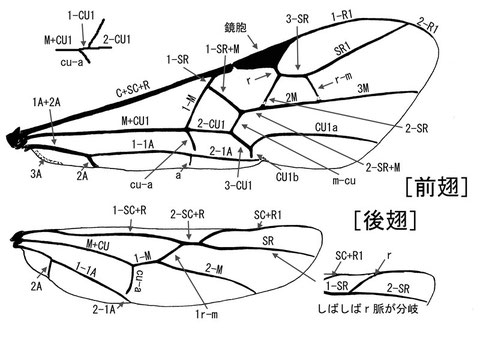 前翅翅脈 (Achterberg, 1979, 1988:modified Comstock-Needham system)ニッポンツノコマユバチ Helconidea nipponica (Watanabe,1972)(脇の補足は除く)