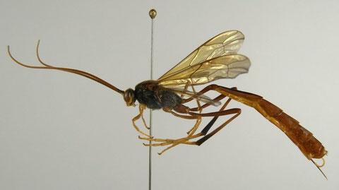 マツケムシヤドリコンボウアメバチ Habronyx heros (Wesmael, 1849) (マツヤドリではない)